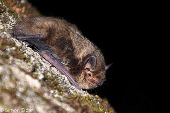 Drobni netopir